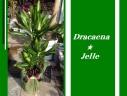 ドラセナジュレ7号★幸福の木のサラブレッド お勧め