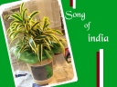幸福植物☆ソングオブインディア陶器鉢