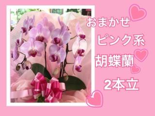 おまかせ☆ピンク系胡蝶蘭☆2本立ち