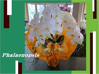 ☆大きなお花のホワイト胡蝶蘭☆