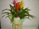 花鉢グズマニア