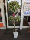 観葉植物(ベンジャミン)スターライトビュティークイ