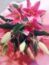 ピンク系ハイブリットリリーの花束