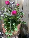 バードフラワー 可愛い薔薇を鳥籠に!