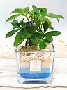 トロピカル観葉植物~ハワイアンブルー~