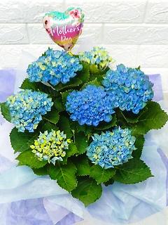 母の日のバルーン付き♪強い品種の花色変化あじさい
