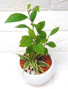 スタイリッシュ観葉植物?ガジュマル&ドラセナ?