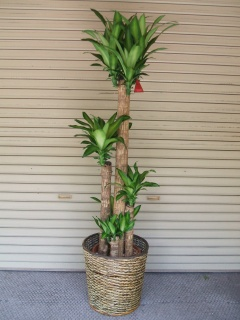 幸福の木(ドラセナマッサンゲアナ)