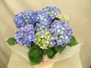 紫陽花(チボリパープル)