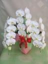 ミニ胡蝶蘭(ホワイト)