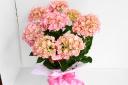 アジサイ「マリーアントワネット」の花鉢ギフト