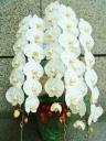 胡蝶蘭 3本立ち 大輪(白・42輪)開店祝い