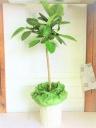 ゴムの木 アルテシーマ