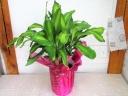 マッサンゲアーナ(幸福の木) 観葉植物