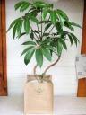 デザインツピタンサス 観葉植物