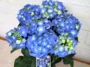 紫峰 紫陽花