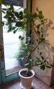 素敵な樹形☆フィカス ベンガルゴム