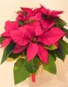 綺麗です★ポインセチア☆クリスマスデイ★