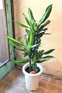 人気の観葉植物☆ドラセナ・ジェレ