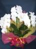 ミニ胡蝶蘭鉢植(ホワイト)