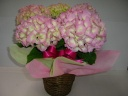 優しいピンク色の紫陽花鉢植(籐かご入り)