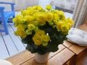 リーガースベゴニア(yellow)