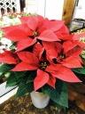 花鉢「ポインセチア」(red)