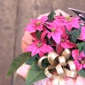ティアラのようなお花、プリンセチア