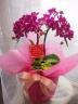 胡蝶蘭 ミディ濃ピンク