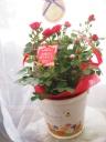 赤いミニバラの鉢植え