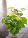 ハイドランジア・アナベルの鉢植え