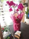 ミニ胡蝶蘭ピンクとスパブラシの癒しセット