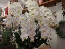 ホワイト胡蝶蘭5本立ち