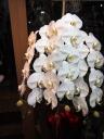 ホワイト胡蝶蘭3本立ちM