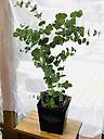 ユーカリの鉢植え