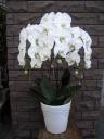 白の胡蝶蘭3本立