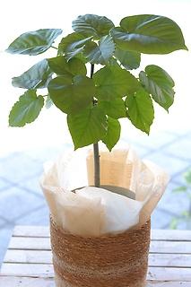 観葉植物 フィカス・ウンベラータ