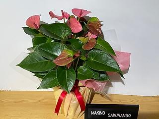 アンスリューム ピンクチャンピオン