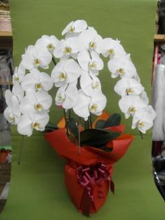 胡蝶蘭(大輪胡蝶蘭)白3本立 約28輪