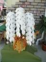 胡蝶蘭(大輪胡蝶蘭)白3本立 約40輪