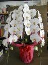 胡蝶蘭(大輪胡蝶蘭)白3本立 約30輪