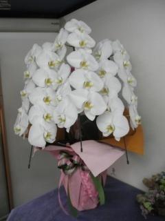 胡蝶蘭(大輪胡蝶蘭)白3本立 約35輪