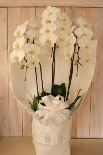 三本立ち ホワイト 胡蝶蘭