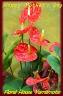 真っ赤なハート型のお花(苞)アンスリューム
