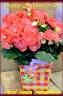 バラ咲きリーガスベコニアがカラフルバックと♪