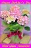 あじさい「旭の舞姫」は素敵な花柄です♪