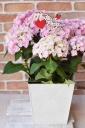 八重咲きアジサイ「筑紫ルビー」の鉢カバー付き
