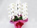 大輪の胡蝶蘭 ホワイト3本立