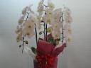 豪華な胡蝶蘭 3本立ち 白
