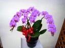艶やかなピンクのミニコチョウラン☆3本立